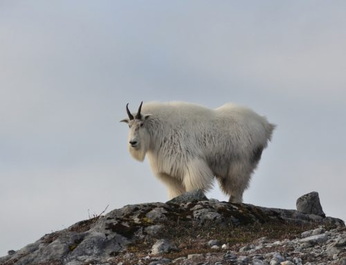 Mountain Goat Management Plan Released